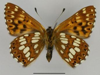 Hamearis lucina, Perlbinde, in Sachsen, Tagfalter Pollrich