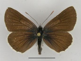 Storchschnabel-Bläuling Aricia eumedon in Sachsen Tagfalter Pollrich