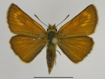 Weibchen/ Oberseite