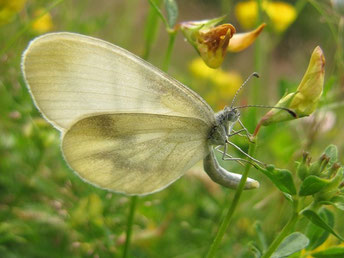 Leptidae ssp. bei der Eiablage - Frankenberg, Bundeswehrgebiet zwischen Altenhain und Mühlbach 01.07.2012 - F. Herrmann