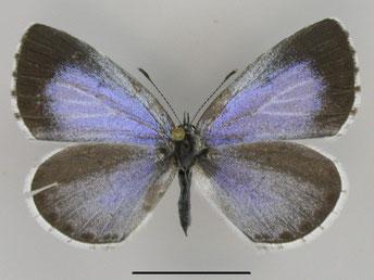 Faulbaum-Bläuling Celastrina argiolus in Sachsen Tagfalter Pollrich