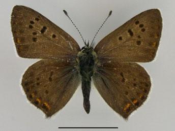 Brauner Feuerfalter Lycaena tityrus in Sachsen Tagfalter Pollrich