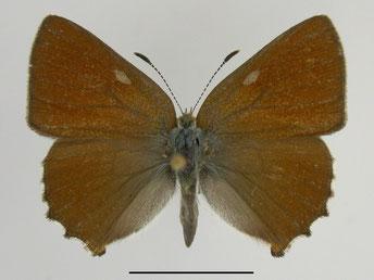 Grüner Zipfelfalter Callophrys rubi in Sachsen Tagfalter Pollrich