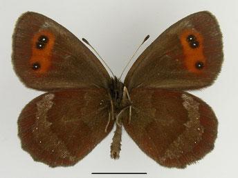 Graubindiger Mohrenfalter Erebia aethiops in Sachsen Tagfalter Pollrich