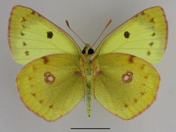Hufeisenklee-Gelbling Colias alfacariensis in Sachsen Tagfalter Pollrich