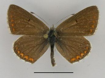 Kleiner Sonnenröschen-Bläuling Aricia agestis in Sachsen Tagfalter Pollrich