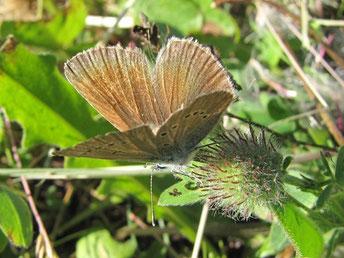 Polyommatus semiargus. - Oberwiesenthal, Fichtelberggebiet nahe Zechengrund 11.07.2010 - F. Herrmann