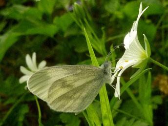 Leptidae ssp. saugt an Echter Sternmiere. - Bienitz, Rodelbahn 28.04.2011 - D. Wagler