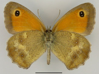 Rotbraunes Ochsenauge Pyronia tithonus in Sachsen Tagfalter Pollrich