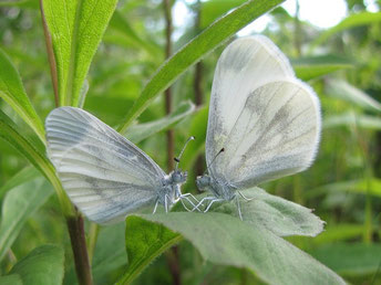 Leptidae ssp. - Frankenberg, Bundeswehrgebiet zwischen Altenhain und Mühlbach 08.07.2012 - F. Herrmann