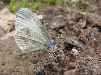 Leptidae ssp. - Frankenberg, Bundeswehrgebiet zwischen Altenhain und Mühlbach 29.04.2012 - F. Herrmann