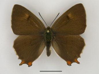 Nierenfleck-Zipfelfalter Thecla betulae in Sachsen Tagfalter Pollrich