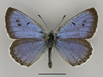 Thymian-Ameisenbläuling Phengaris arion in Sachsen Tagfalter Pollrich