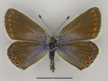 Kleiner Esparsette-Bläuling Polyommatus thersites in Sachsen Tagfalter Pollrich