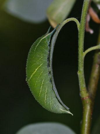 Großer Schillerfalter Apatura iris in Sachsen Tagfalter Pollrich