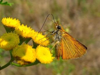 Thymelicus acteon. - Spey, Heidegebiet unter Strommasten neben Straße nach Boxberg, nahe Tagebau Nochten (Oberlausitz) 10.08.2013 - F. Herrmann