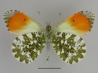 Männchen/ Unterseite