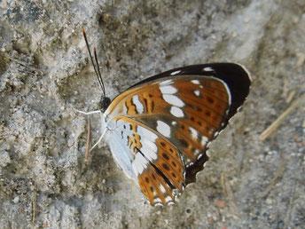 Kleiner Eisvogel Limenitis camilla in Sachsen Tagfalter Pollrich
