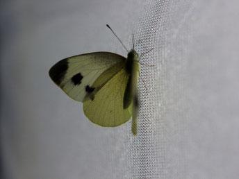 Aus dem am 16.07.2017 in Lauter gefunden Ei geschlüpftes Weibchen des Karstweißling (Pieris mannii). - 08315 Lauter-Bernsbach, OT Lauter 16.08.2017 - F. Einenkel
