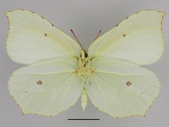 Zitronenfalter Gonepteryx rhamni in Sachsen Tagfalter Pollrich