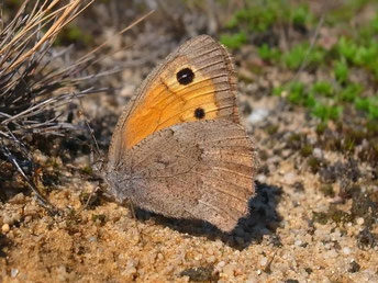 Kleines Ochsenauge Hyponophele lycaon in Sachsen Tagfalter Pollrich