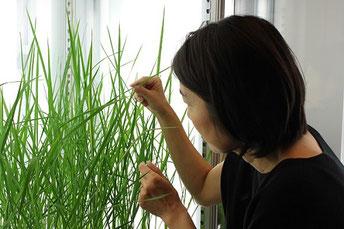 バイオトロン(植物育成機)を用いて、実験室内でイネを育てています