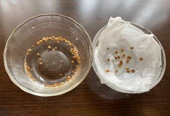 コリアンダーの種が入ったココット二つ、左は水、右は湿らせたキッチンペーパーがセットしてある