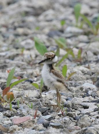●歩行するコチドリ。5月31日、野川の二枚橋付近にて