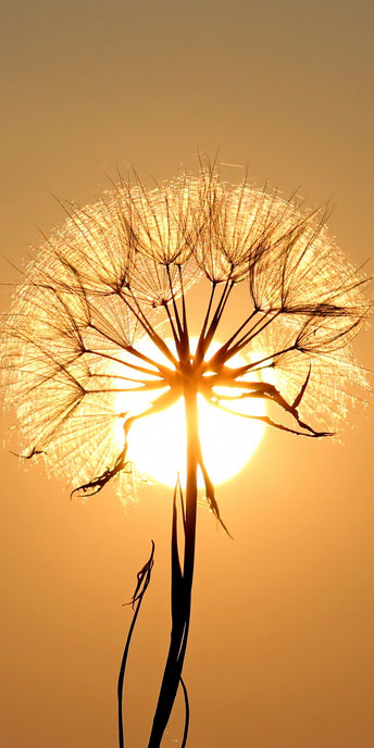 Sonnenblume vor untergehender Sonne - Innerwise