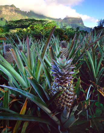 Ananasfeld auf Tahiti