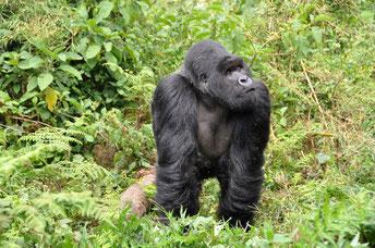Gorillas in Ruanda, Kaffee und Menschenaffen