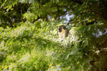 Grüner Affe, Barbados Wildlife Reserve