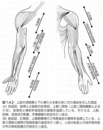 上肢の筋膜展開