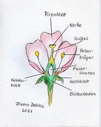 Aufbau einer Blüte