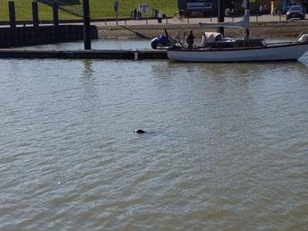 Robbe im Hafenbecken von Fedderwardersiel