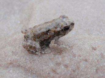 Baby frog, Fraser Island, Australia
