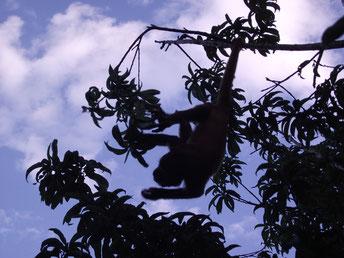 monkey at Zoológico El Refugio, Samaipata, Bolivia
