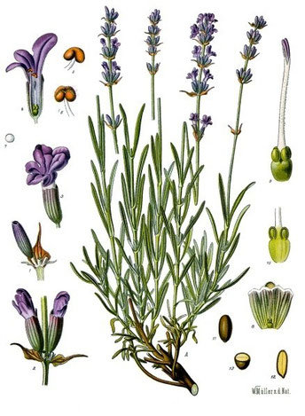 Lavandula angustifolia, aus Köhlers Medizinalpflanzen, Quelle: BioLib.de