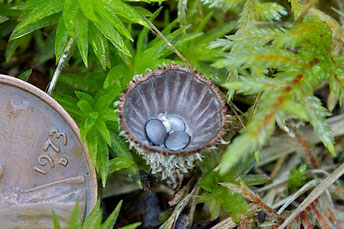 Fluted Bird's Nest fungi (Cyathus striatus) are also known as Splash Cups.