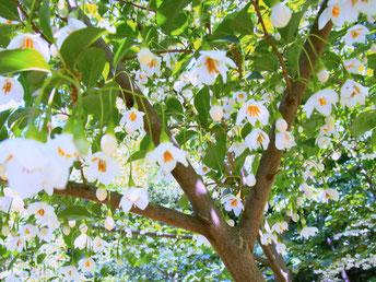 咲き始めたエゴノキ