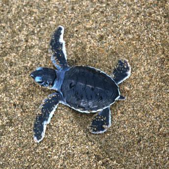 Schildpadjes vrijlaten op het strand van Sukamade op oost Java