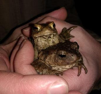Diese Erdkröten wurden am Eutritzscher Park aufgesammelt und sicher über die Straße gebracht. Foto: NABU Leipzig