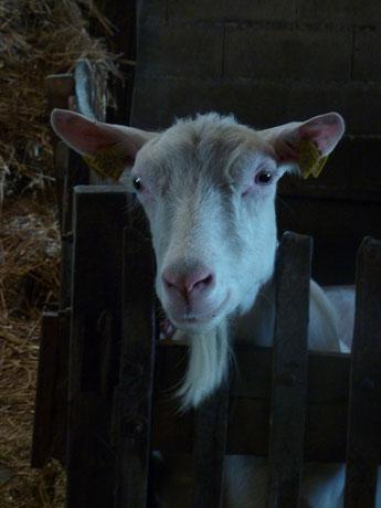 chèvre Saanen à la ferme de La Pérotonnerie dans les Deux-Sèvres