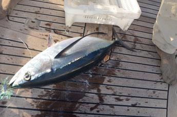 Longfin Tuna, Transatlantic Cruise Bahamas-Azores, Mai 2014