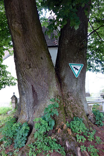 Linde bei der St. Ruppert Kapelle bei Wiesenfelden