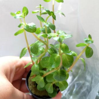 ロタラインジカ!ビオトープなどの水辺植物として
