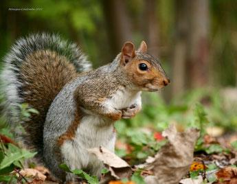 ecureuil gris vs tamia confondre