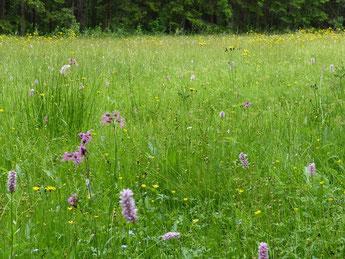 """Blütenreiche Wiesen stellen für Colias palaeno das Imaginalhabitat dar. - Johanngeorgenstadt, nahe Henneberg, FND """"Arnikawiese"""" 06.07.2013 - St. Pollrich"""