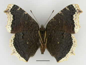 Weibchen/ Unterseite