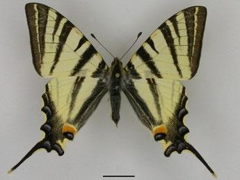 Segelfalter Iphiclides podalirius in Sachsen Tagfalter Pollrich